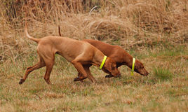 Hunting Vizsla Royalty Free Stock Image