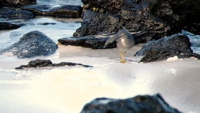 Hunting Wandering tattler stock footage