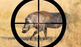 Hunting warthog in Botswana royalty free stock photos