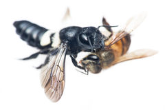 Hunting wasp Royalty Free Stock Images