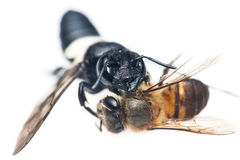 Hunting wasp Stock Images