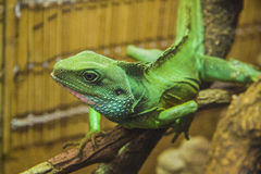 hunting Water dragon lizard Royalty Free Stock Photo