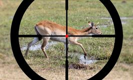 Hunting waterbuck in Namibia royalty free stock photo