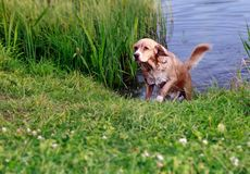 Hunting wet dog running Stock Photo