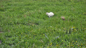 Hunting white cat. In the green grass Royalty Free Stock Photo