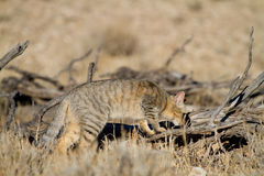 Hunting wild cat Stock Photography