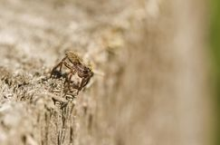 A hunting Wolf spider & x28;Pardosa& x29;. Royalty Free Stock Photo