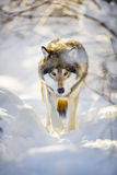 Hunting wolf with wild eyes walking in beautiful winter forest Royalty Free Stock Photography