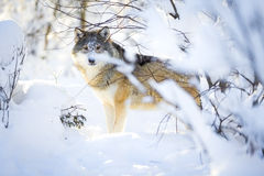 Hunting wolf with wild eyes walking in beautiful winter forest Royalty Free Stock Image