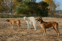 Hunting with wolfhound dogs Stock Photo