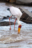 Hunting Yellow-billed Stork Royalty Free Stock Photography