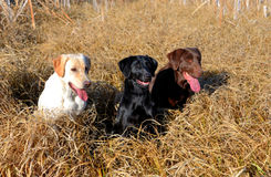 Hunting Yellow,Black, and Brown Labrador dog. A Yellow, Brown, Black, labrador hunting  dogs sitting in tall grass and cattails Stock Photo