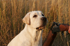 A hunting yellow labrador Stock Photos