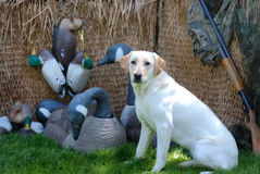 Hunting Yellow Labrador dog. A yellow labrador dog sitting in a hunting blind with duck and goose decoys Stock Image
