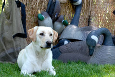 Hunting Yellow Labrador dog. A yellow labrador dog sitting in a hunting blind with duck and goose decoys Royalty Free Stock Images