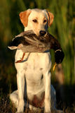 Hunting Yellow Labrador dog. A yellow labrador dog sitting and holding a Mallard duck Stock Photo