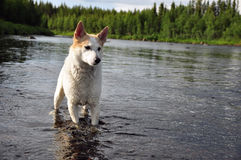 Huntingdog. Stands in the river Royalty Free Stock Photo