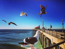 Huntington Beach pier seagulls Royalty Free Stock Photo