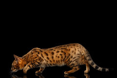 Hunts Gold Bengal female Cat crouching on Isolated Black Background Stock Images