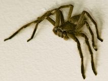 Huntsman Spider. Macro of a large huntsman spider Royalty Free Stock Photography