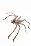 Huntsman spider. Isolated on white royalty free stock photography