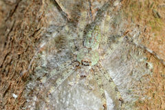 Huntsman Spider. With eggs on the tree stock photography