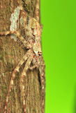 Huntsman spider. Stay on tree royalty free stock photography