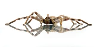 Huntsman spider. On glass - providing a reflection.  s move around looking for prey Royalty Free Stock Photo