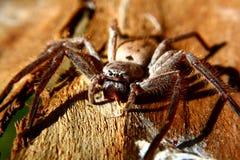 Huntsman spider Royalty Free Stock Image