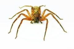 Huntsman Spider In Australia Royalty Free Stock Images