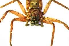 Huntsman Spider In Australia Stock Images