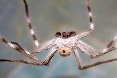 Huntsman Spider Royalty Free Stock Photos