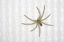 Huntsman spider in home Stock Image
