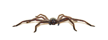 Huntsman Spider - Low Profile Royalty Free Stock Photo