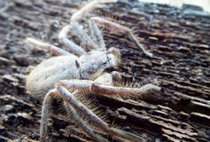 Huntsman spider. A huntsman spider sitting on timber Royalty Free Stock Photo