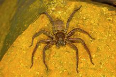 Huntsman spider, Sparassidae , Aarey Milk Colony , INDIA. Huntsman spiders, members of the family Sparassidae formerly Heteropodidae, are known by this name Stock Photos