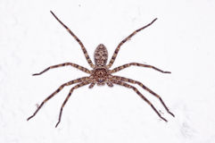 Huntsman spider Royalty Free Stock Images
