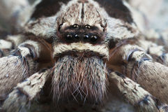 Huntsman spider. Royalty Free Stock Photos