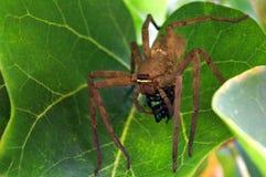 Huntsman spider use venom to immobilise  beetle prey Royalty Free Stock Photography