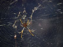 Huntsman spider and web Royalty Free Stock Photos