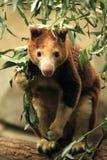Huon tree-kangaroo Stock Image