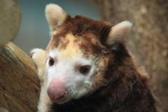 Huon tree-kangaroo. The detail of huon tree-kangaroo Royalty Free Stock Photo