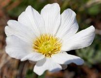 Hupeensis Anemone Στοκ Φωτογραφίες