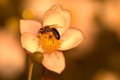 Hupehensis de la anémona con la abeja ocupada Foto de archivo libre de regalías