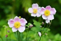 Hupehensis de la anémona de las flores Imagen de archivo libre de regalías