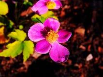 Hupehensis VAR Anemone japonica ` Splendens ` Στοκ Εικόνες