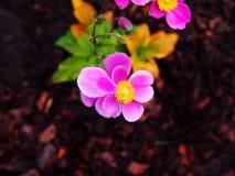 Hupehensis VAR Anemone japonica ` Splendens ` Στοκ φωτογραφία με δικαίωμα ελεύθερης χρήσης
