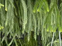 Huperzia в предпосылке зеленого цвета природы Стоковые Фотографии RF