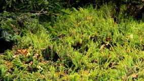 Huperzia, sparmos, geneeskrachtige installatie in een Duits bos stock footage