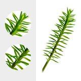 Huperzine roślina na białym tle Chien Tseng Ta, Jin Bu Buan, Qian Ceng, Ona Zu Cao, Shi piosenka leczniczy realistyczny Zdjęcia Stock